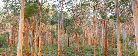 forest trees: The Boranup Karee Forest  near the town of Margaret River, Western Australia. Stock Photo