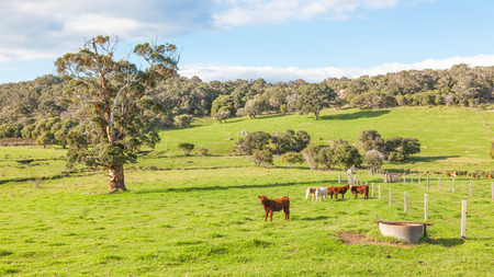 australian beef cow: A mixed cattle farm in the Caves Road area of Margaret River in Western Australia.