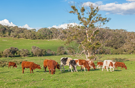 west river: A mixed cattle farm in the Caves Road area of Margaret River in Western Australia.