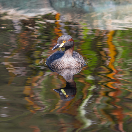 birdlife: An Australasian Grebe, Tachybaptus novaehollandiae, swimming in a pond in Western Australia. Stock Photo