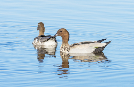 dabbling: A pair of Australian Wood Duck, Maned Duck or Maned Goose (Chenonetta jubata), a dabbling duck found throughout much of Australia.