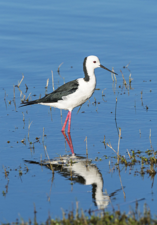 wader: The Black-winged Stilt, Common Stilt or Pied Stilt (Himantopus himantopus), is a widely distributed, very long-legged wader in the avocet and stilt family.
