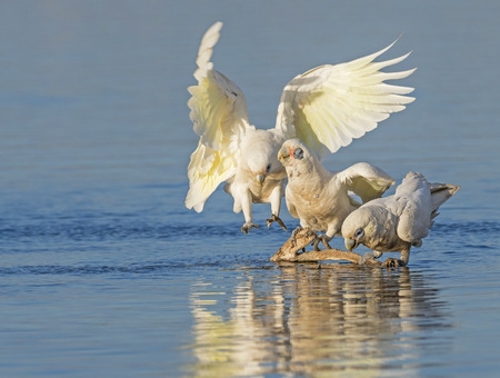 herdsman: Two Little Corellas (Cacatua sanguinea) drinking while a third bird approaches the drinking spot at Herdsman Lake in Perth, Western Australia. With copy space.