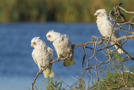 herdsman: Three Little Corellas gazing intently  from their perch on a tree at Herdsman Lake in Perth, Wesren Australia.