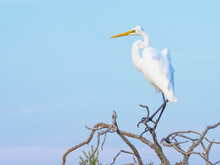 Distributed across most of the tropical and warmer temperate regions of the world, the Great Egret (Ardea alba) is also known as the Common Egret, Large Egret or Great White Heron. This example was photographed in Western Australia.