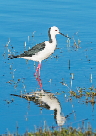 The Black-winged Stilt, Common Stilt or Pied Stilt (Himantopus himantopus), is a widely distributed, very long-legged wader in the avocet and stilt family. This example was photographed in Western Australia.