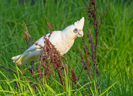 herdsman: A Little Corella feeding on seeds at Herdsman Lake in Perth, Western Australia. Stock Photo