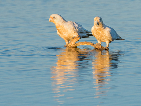 perth: Two Little Corellas at a drinking spot at Herdsman Lake in Perth, Western Australia.