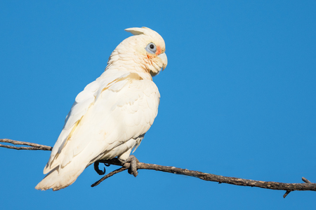 herdsman: A Little Corella perched on a branch at Herdsman Lake in Perth, Western Australia.