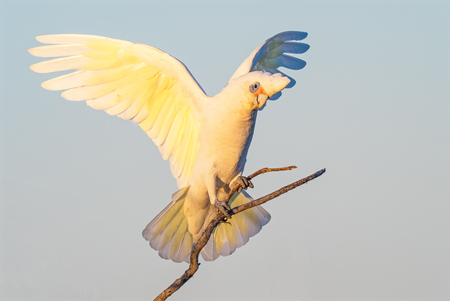 herdsman: A Little Corella perched on a branch, with wings outstretched, at Herdsman Lake in Perth, Western Australia.