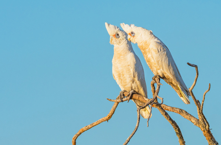 Two Little Corellas perched on a branch, at Herdsman Lake in Perth, Western Australia. Stock Photo