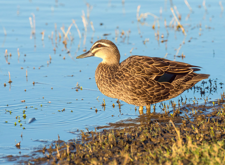 herdsman: A Pacific Black Duck (Anas superciliosa) at the waters edge at Herdsman Lake in Perth, Western Australia.