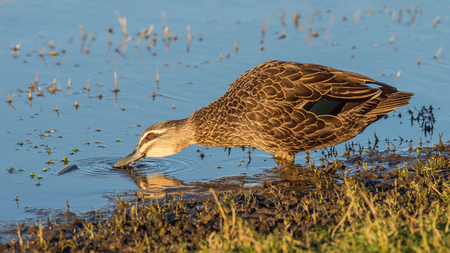 herdsman: A Pacific Black Duck (Anas superciliosa) drinking at at Herdsman Lake in Perth, Western Australia.