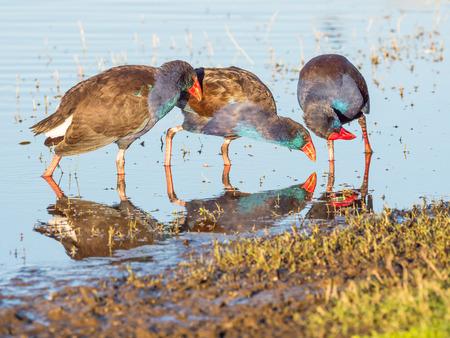 australasian: Interaction between three Purple Swamphens (Porphyrio porphyrio) at Herdsman Lake in Perth, Western Australia.