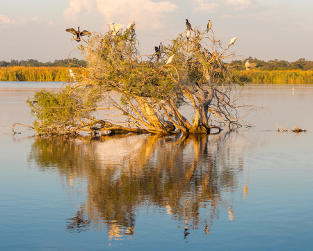 Cormorants and Little Pied Corellas on a tree in Herdsman Lake in Perth, Western Australia.