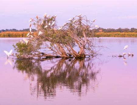 herdsman: Little Pied Corellas on a tree at dusk in Herdsman Lake, Perth, Western Australia.