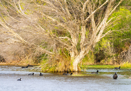 perth: Australian coots swimming around a partly submerged paper bark tree at Herdsman Lake in Perth, Western Australia.
