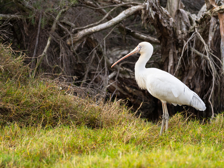 perth: A Yellow-Billed Spoonbill (Platalea regia) at the edge of Herdsman Lake in Perth, Western Australia.