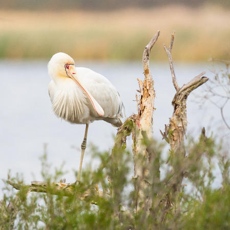 perth: A Yellow-Billed Spoonbill (Platalea regia) perched on a tree at Herdsman Lake in Perth, Western Australia.