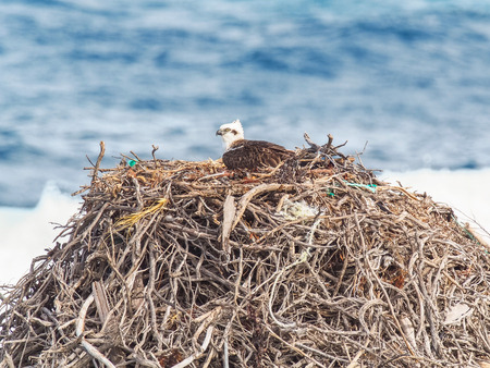 An Eastern Osprey on its very large nest, made of rope, seaweed and twigs, at Rottnest Island, near Perth in Western Australia. Stock Photo