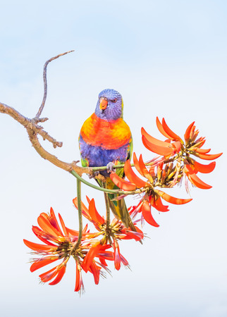 A Rainbow Lorikeet (Trichoglossus haematodus) - a medium-sized Australian parrot - feeding on the flowers of a Coral Tree (Erythrina sykesii) in Perth, Western Australia.