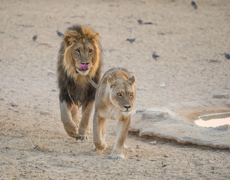 A courting pair of lions in the Kgalagadi Transfrontier Park, straddling South Africa and Botswana.
