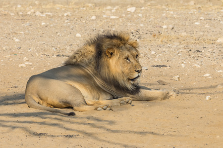 A magnificent male lion resting in the Kgalagadi Transfrontier Park, straddling South Africa and Botswana.
