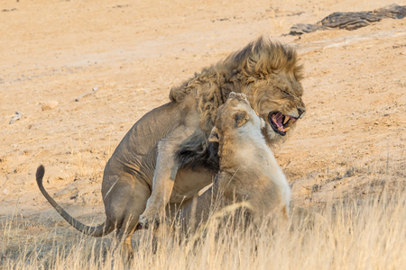 A pair of lions mating in the Kgalagadi Transfrontier Park, straddling South Africa and Botswana.