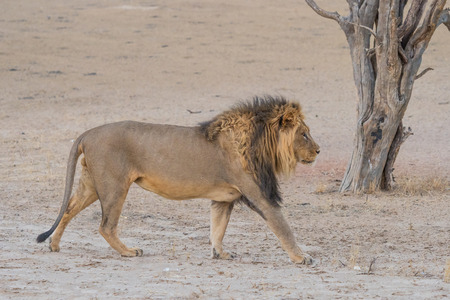 A magnificent male lion walking in the dry Nossob River bed, in the Kgalagadi Transfrontier Park which straddles South Africa and Botswana.