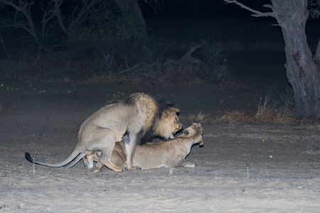 A pair of lions mating at night in the Kgalagadi Transfrontier Park, straddling South Africa and Botswana.