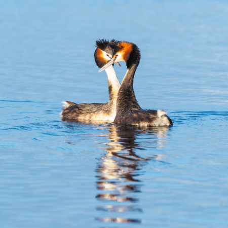 A courting pair of Great Crested Grebes (Podiceps cristatus) - a member of the grebe family of water birds found in Europe, Africa, Asia and Australia.
