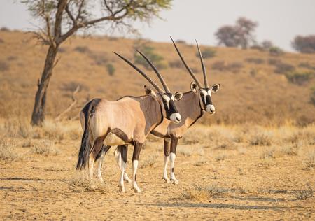 Ein Paar Gemsbock im Kgalagadi Transfrontier Park, gelegen in der Kalahari-Wüste, die Südafrika und Botswana überspannt. Standard-Bild - 88691947