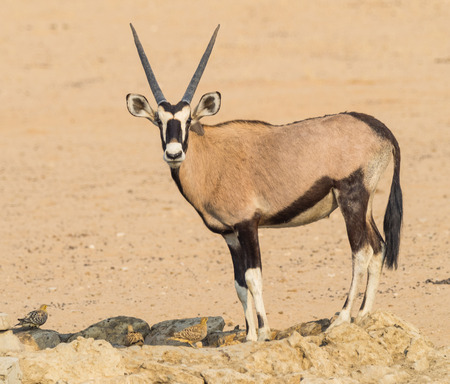 A gemsbok drinking with Namaqua Sandgrouse in the Kgalagadi Transfrontier Park, which straddles South Africa and Botswana.