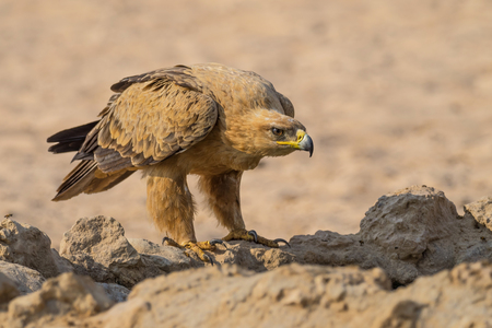 A Tawny Eagle at a waterhole in the  Kgalagadi Transfrontier Park which straddles South Africa and Botswana. Stock Photo