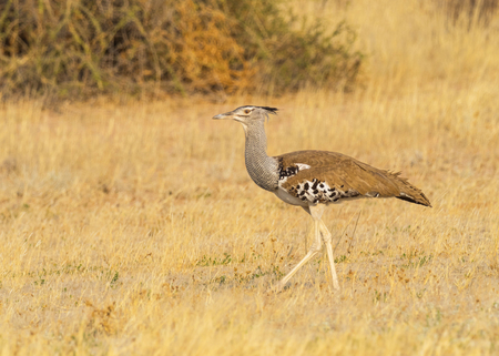 A Kori Bustard, the largest flying bird in Africa,  in the Kgalagadi Transfrontier Park straddling South Africa and Botswana.