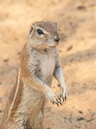 Portrait of a Cape ground squirrel  in the Kgalagadi Transfrontier Park, situated in the Kalahari Desert which straddles South Africa and Botswana.