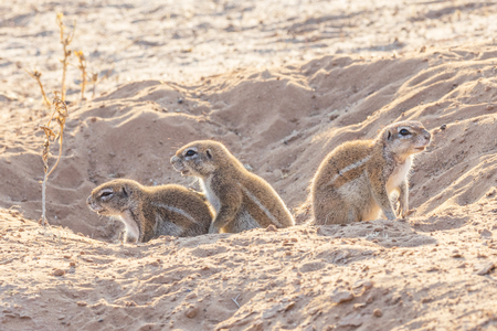 Cape ground squirrel  in a burrow in the Kgalagadi Transfrontier Park, situated in the Kalahari Desert which straddles South Africa and Botswana.