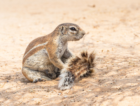 A Cape ground squirrel  in the Kgalagadi Transfrontier Park, situated in the Kalahari Desert which straddles South Africa and Botswana. Stock Photo