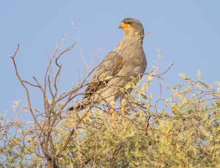 A Pale Chanting Goshawk in the Kgalagadi Transfrontier Park straddling South Africa and Botswana.