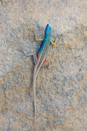 A Broadley's flat lizard, locally known as the Augrabies flat lizard, sunning itself on a rock at Augrabies Falls National Park in South Africa. Stock fotó