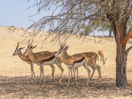 Female springbok shading themselves under a thorn tree in the Kgalagadi Transfrontier Park straddling South Africa and Botswana. Stock Photo