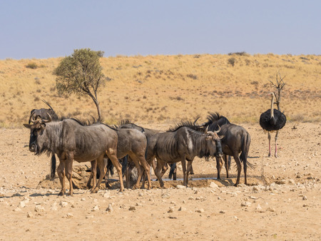 Common or Blue Wildebeest at a waterhole in the arid; Kgalagadi Transfrontier Park straddling South Africa and Botswana.  A gemsbok and an ostrich can be seen in the background. Stock Photo