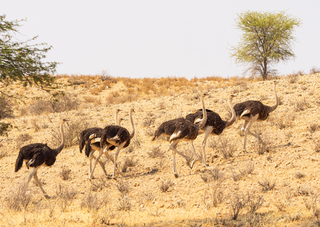 Common Ostriches on a dune in the arid Kgalagadi Transfrontier Park straddling South Africa and Botswana.