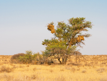 The communal nests of Sociable Weaver birds in a camelthorn tree in the Kgalagadi Transfrontier Park straddling South Africa and Botswana. Banque d'images