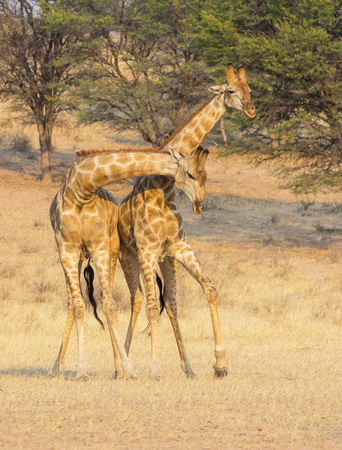 Giraffe fighting in the Kgalagadi Transfrontier Park, situated in the Kalahari Desert which straddles South Africa and Botswana.