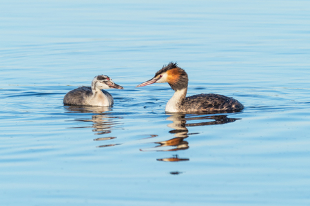 A Great Crested Grebe (Podiceps cristatus) with its young at Herdsman Lake in Perth, Western Australia. Stock Photo