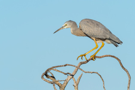 A White-Faced Heron perched on a dead tree at Herdsman Lake in Perth, Western Australia. Stock Photo