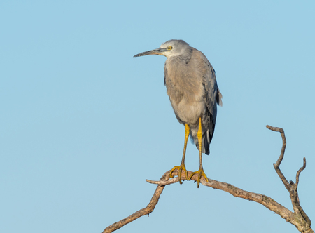 A White-Faced Heron perched on a dead tree at Herdsman Lake in Western Australia.