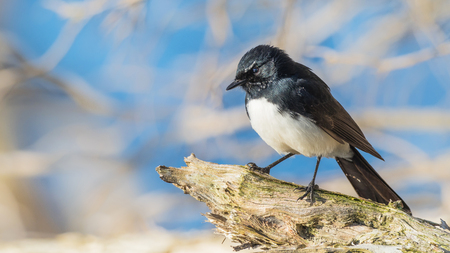 The Willie Wagtail (Rhipidura leucophrys) is one of Australias most widespread bird species. It is also found in New Guinea, the Solomon Islands and Indonesia.