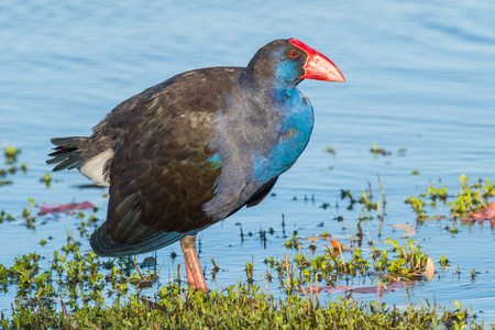 A Purple Swamphen (Porphyrio porphyrio) at Herdsman Lake in Perth, Western Australia.